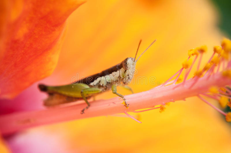 在黄色木槿的蚂蚱有迷离背景 免版税库存图片