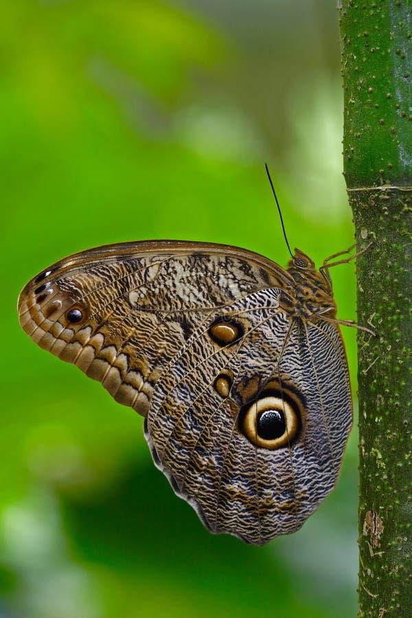 在绿色森林美丽的蝴蝶蓝色Morpho, Morpho peleides的蝴蝶,在栖所,有黑暗的森林的,绿色植被, C 免版税库存照片
