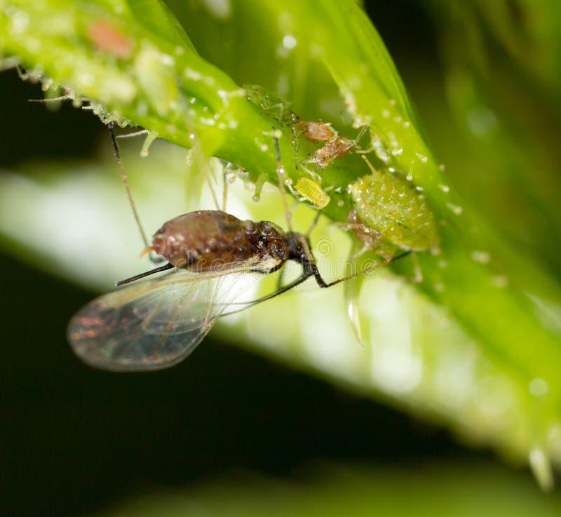 在绿色植物的一条小蚜虫 免版税库存图片