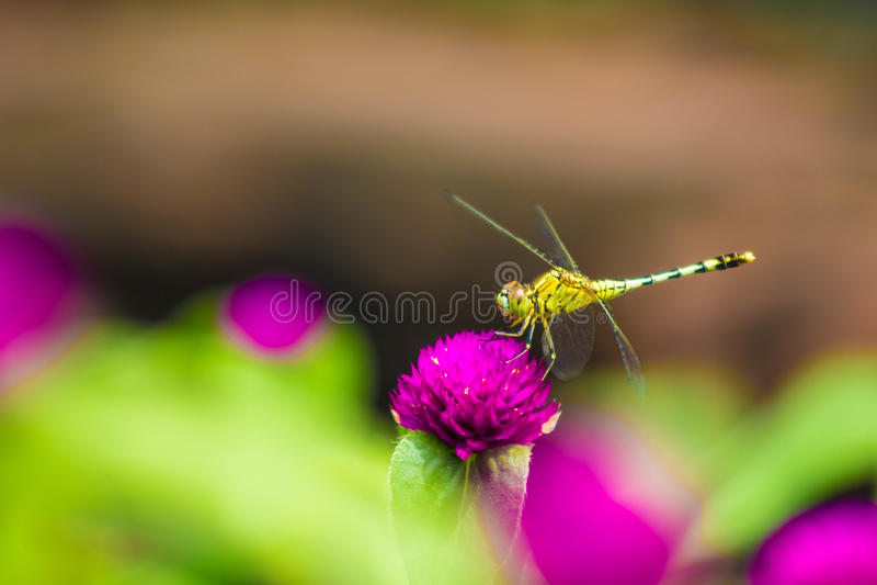 在紫色植物的蜻蜓 免版税图库摄影