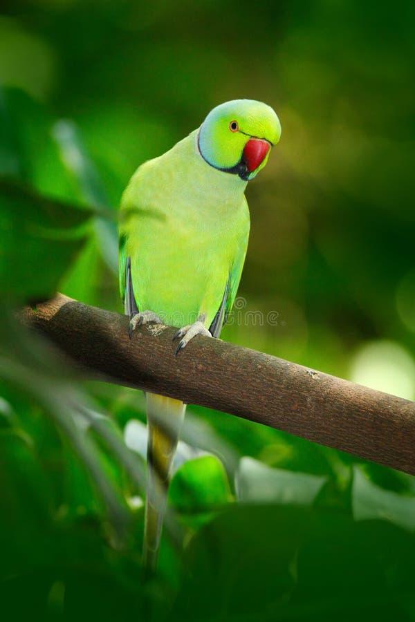 在绿色植被的绿色鸟 模仿坐与巢孔的树干 罗斯圈状的长尾小鹦鹉, Psittacula krameri, beautif 库存图片