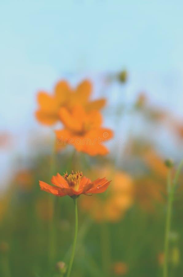 在黄色波斯菊花的软的焦点 免版税库存照片