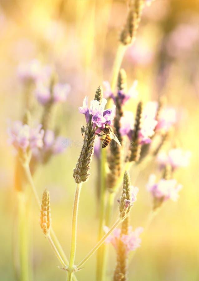在紫色淡紫色花的蜂蜜蜂与软的阳光作用的早晨 库存图片