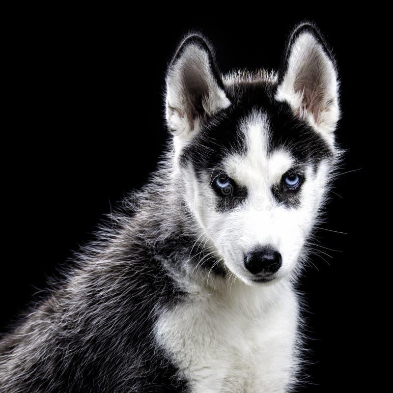 在黑色的多壳的狗 免版税库存图片