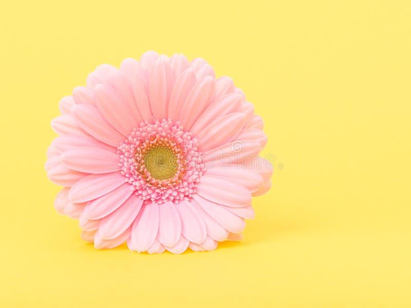 在黄色的桃红色gerber雏菊 免版税库存照片