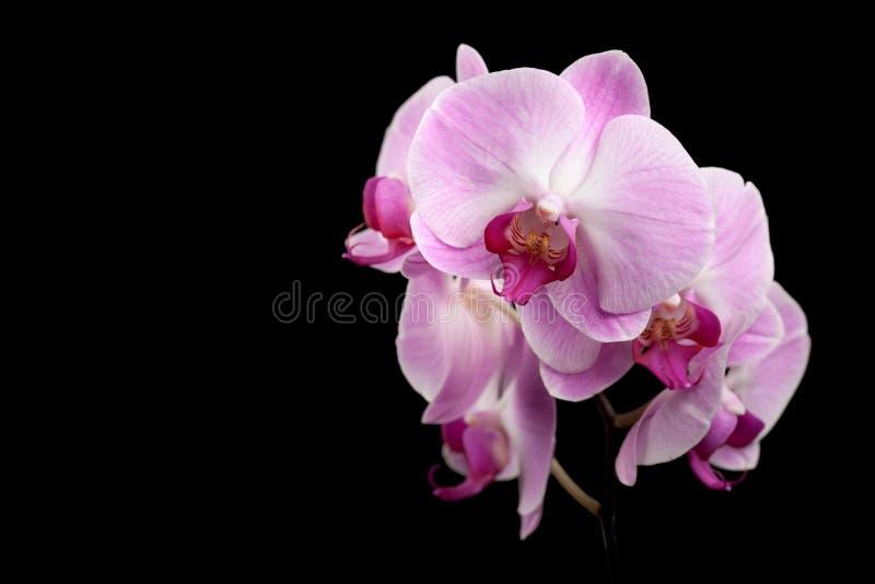 在黑色的美丽的紫色兰花花 免版税库存图片