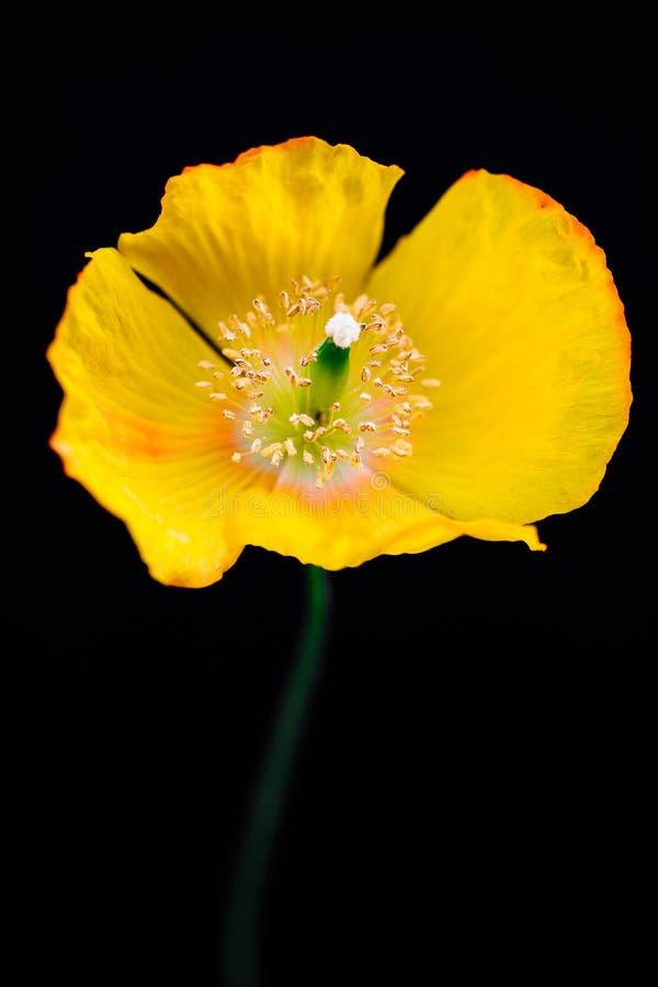在黑色的美丽的黄色加利福尼亚鸦片 库存图片