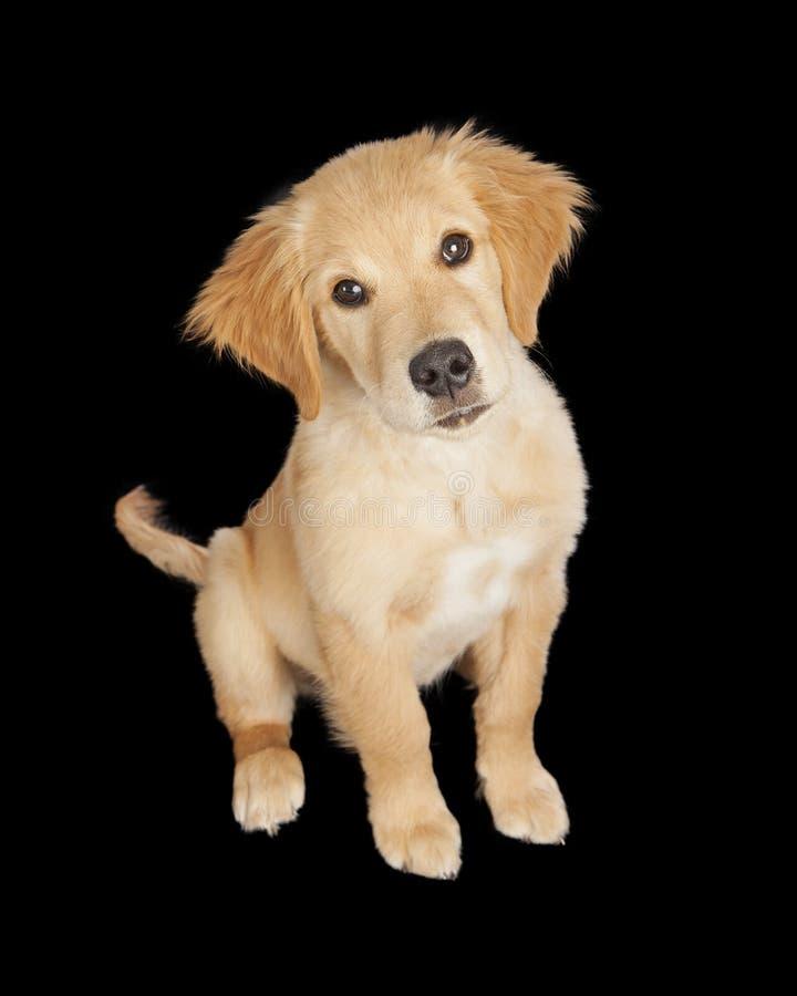 在黑色的逗人喜爱的金毛猎犬小狗 库存照片
