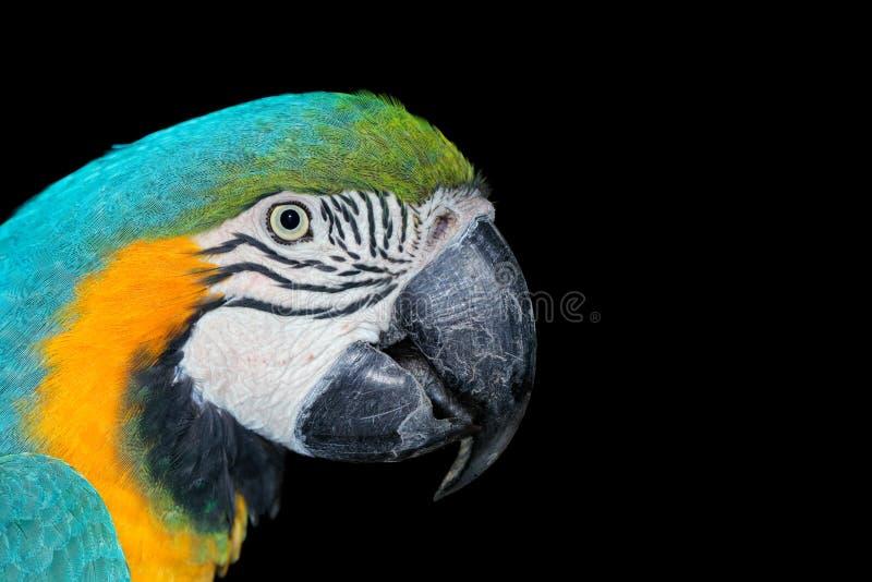 在黑色的青和黄色金刚鹦鹉 免版税图库摄影