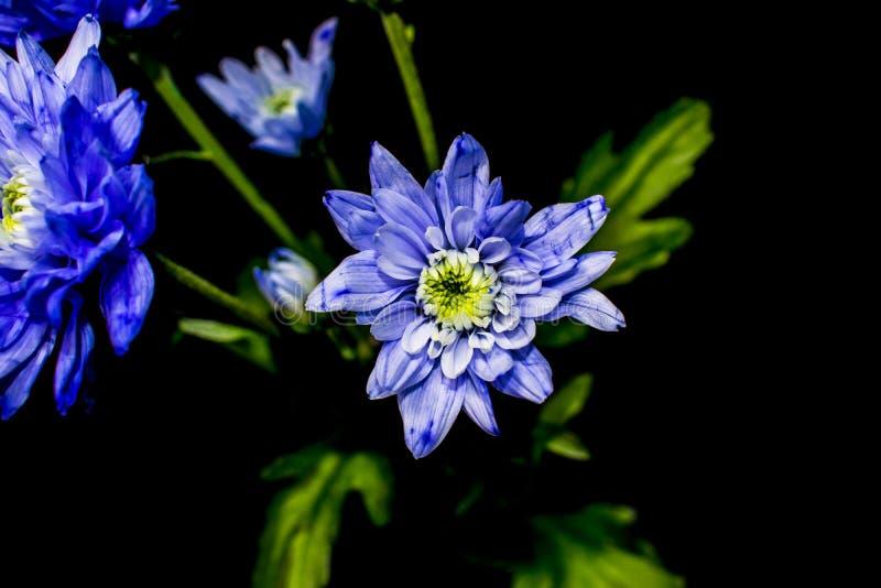 在黑色的经典菊花图象 免版税库存照片