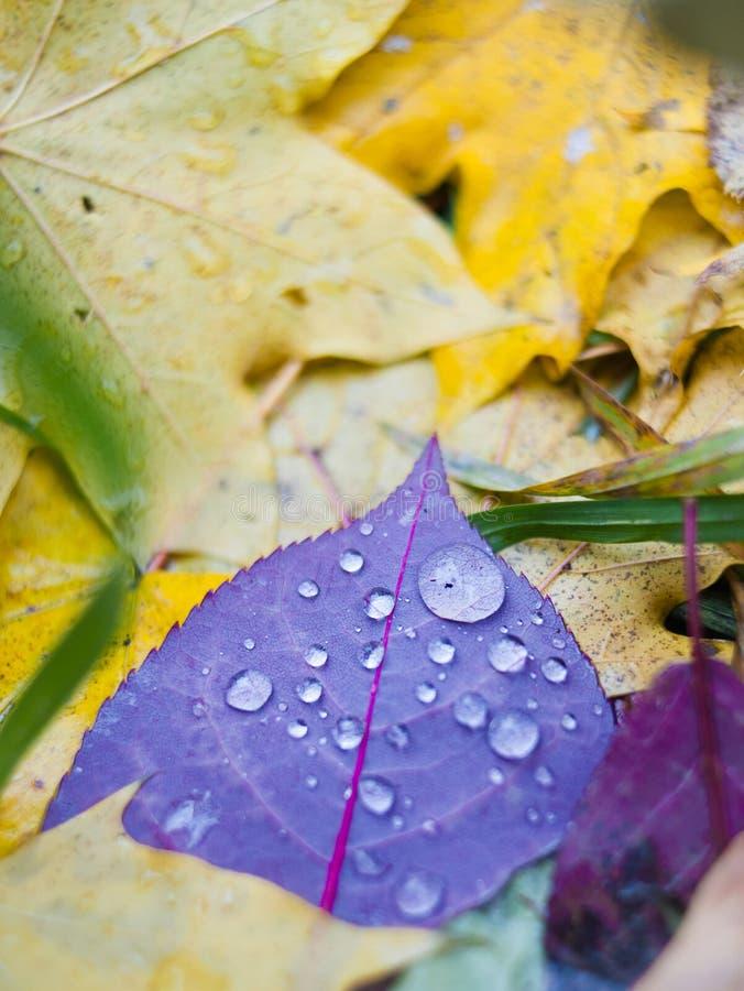 在黄色的紫色叶子在雨珠在秋天离开 免版税库存图片