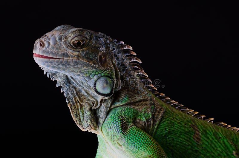 在黑色的绿色鬣鳞蜥孤立 库存照片