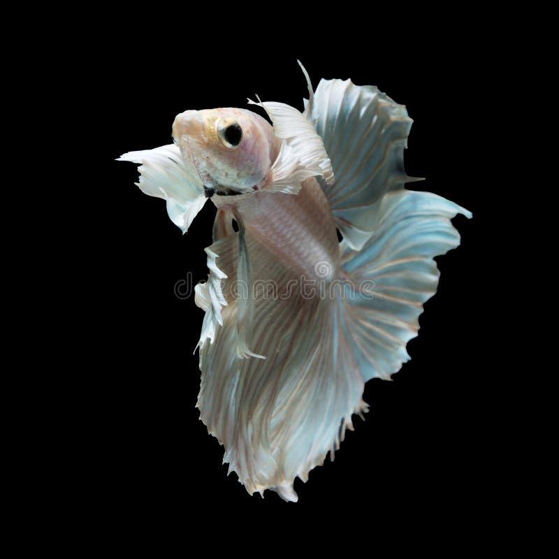 在黑色的Betta鱼 免版税库存图片