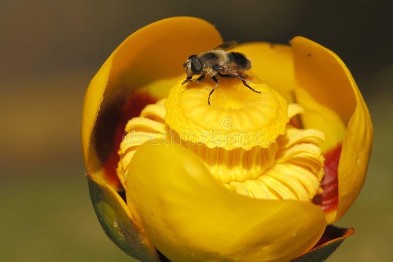 在黄色睡莲的Hoverfly 免版税库存照片