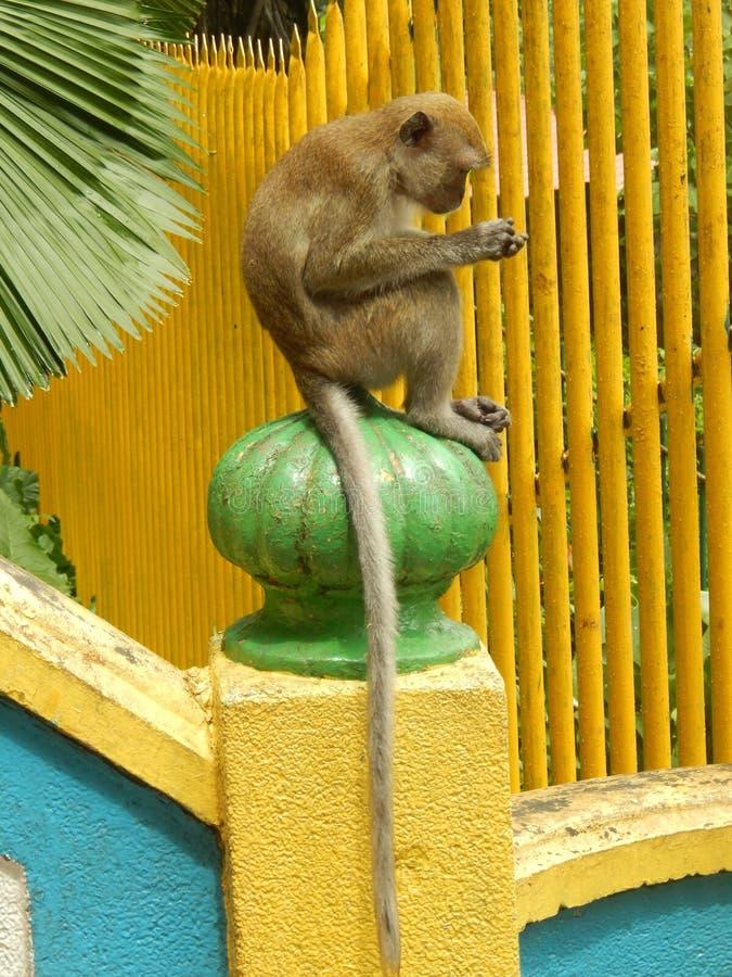 在黄色篱芭前面的猴子 免版税图库摄影