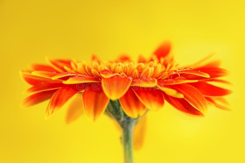 在黄色背景的橙色大丁草雏菊花 库存照片