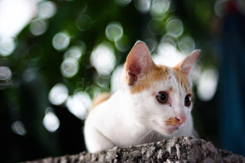 在绿色背景的泰国猫 免版税库存照片