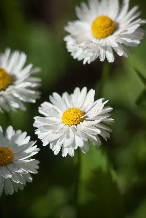 在绿色背景的白色狂放的雏菊花 免版税图库摄影