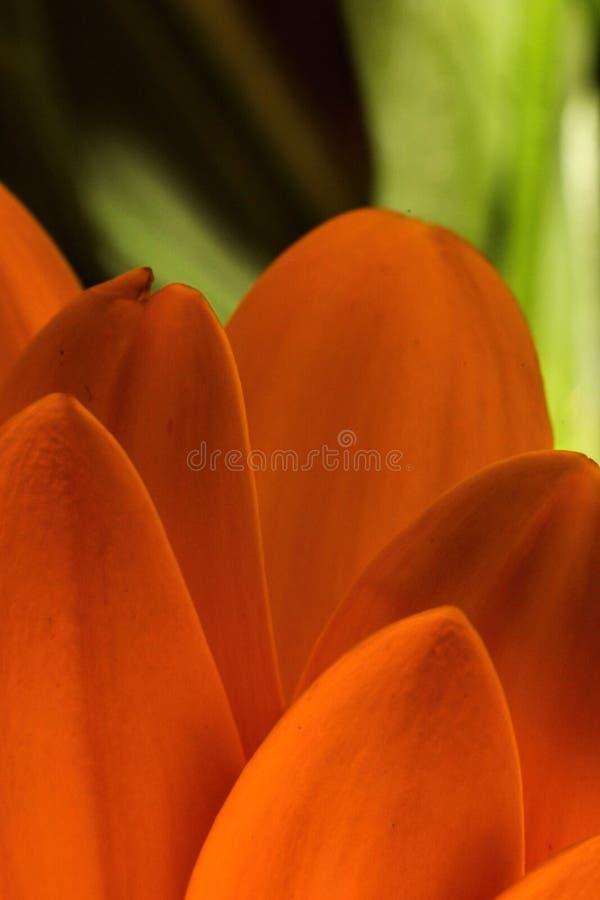 在绿色背景的美丽的大胆和五颜六色的橙色雏菊瓣 免版税库存照片
