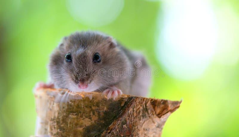 在绿色背景的滑稽的小的仓鼠 免版税库存图片
