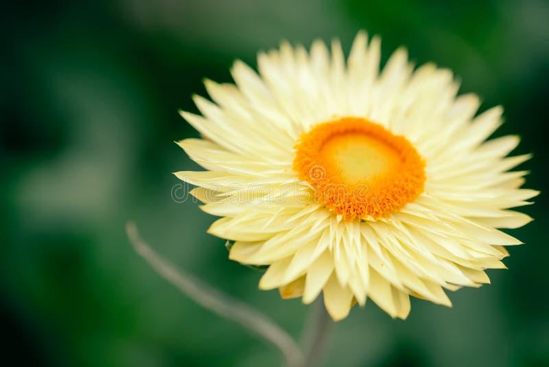 在绿色背景的黄色英国雏菊艾里斯perennis 库存照片