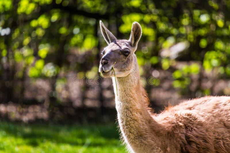 在绿色自然室外背景的骆马画象 免版税库存图片