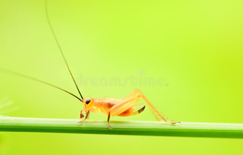 在绿色自然的蟋蟀 免版税库存图片