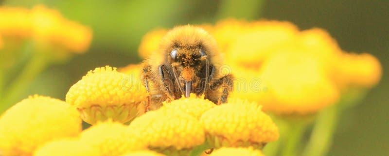 在黄色花的土蜂 免版税库存照片