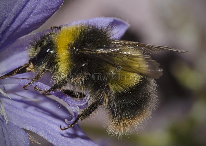 在紫色花的土蜂 图库摄影