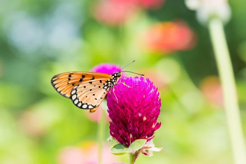 在紫色花的小橙色蝴蝶 免版税库存照片
