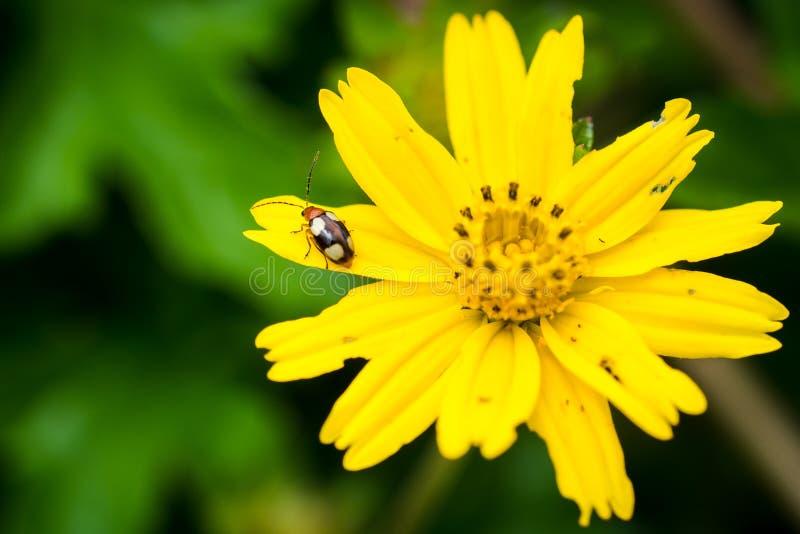 在黄色花的臭虫 库存照片
