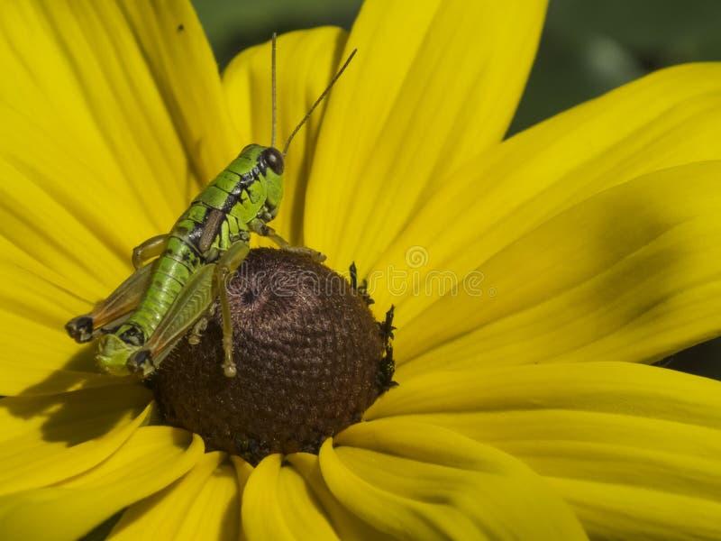 在黄色花的蚂蚱 库存照片