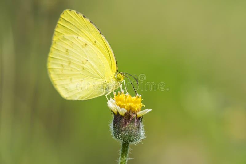 在黄色花的蝴蝶与草 库存照片