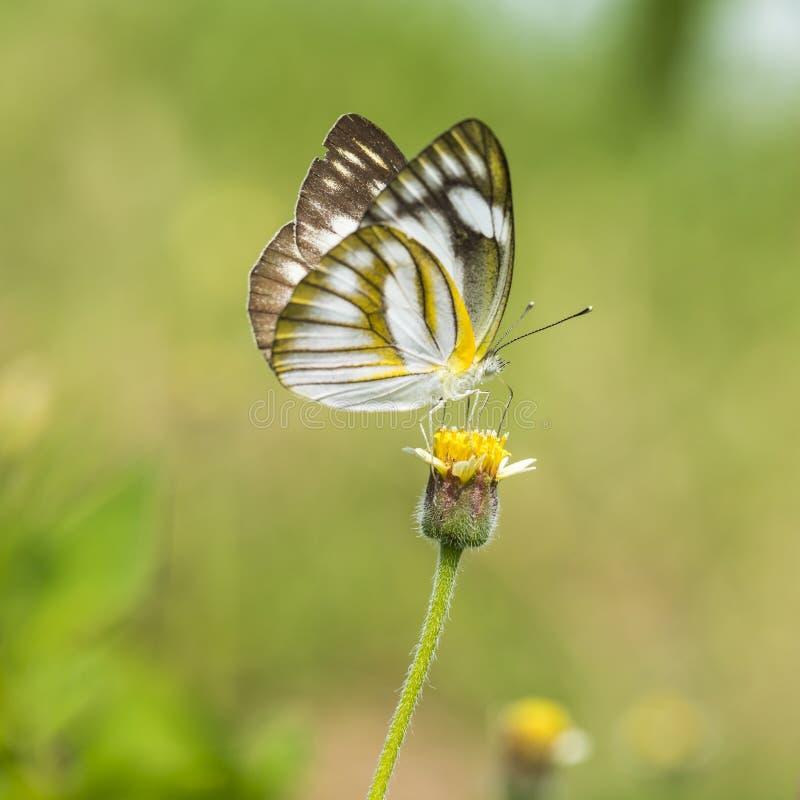 在黄色花的蝴蝶与草 免版税库存图片