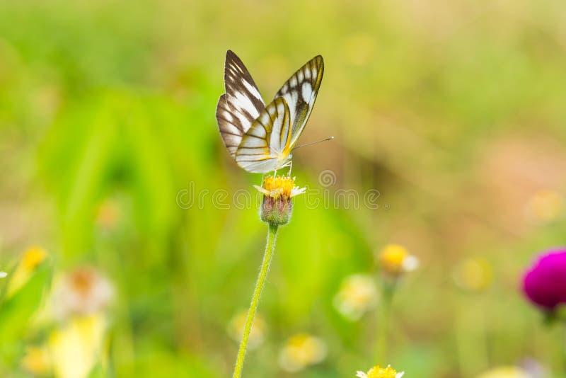 在黄色花的蝴蝶与草 免版税库存照片