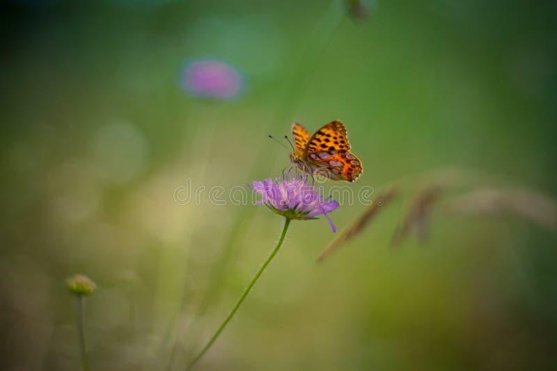 在紫色花-国君的黄色蝴蝶 库存图片