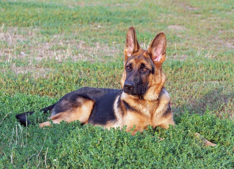 在绿色草坪的幼小德国牧羊犬狗 免版税库存照片
