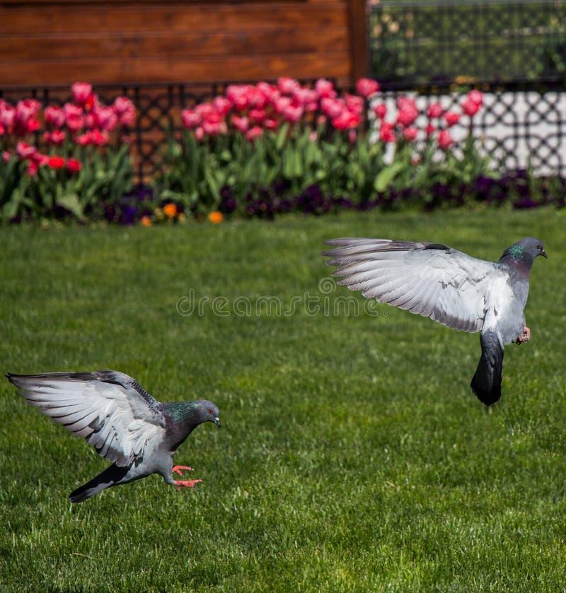 在绿色草坪的鸽子在城市停放 免版税库存照片