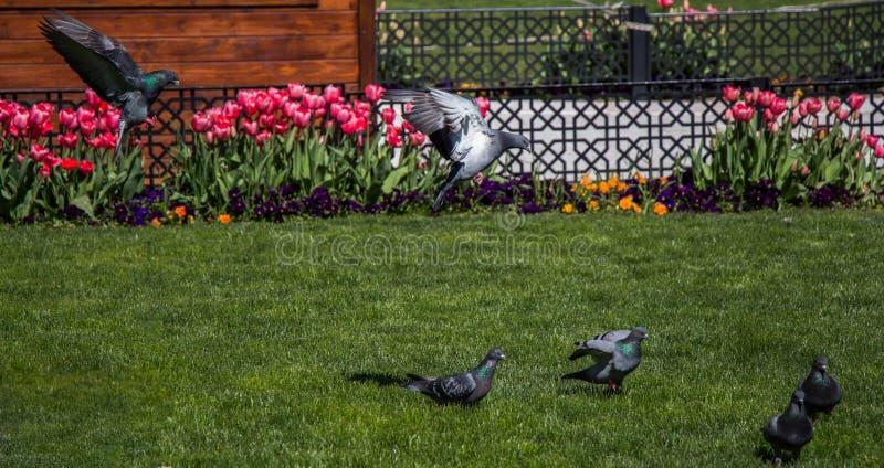 在绿色草坪的鸽子在城市停放 免版税图库摄影