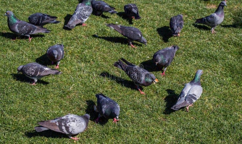 在绿色草坪的鸽子在城市停放 免版税库存图片