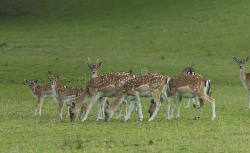 在绿色草甸的小鹿 库存照片