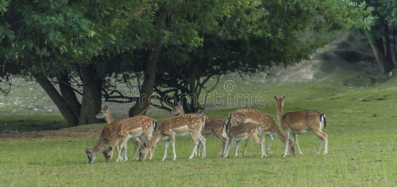 在绿色草甸的小鹿 库存图片