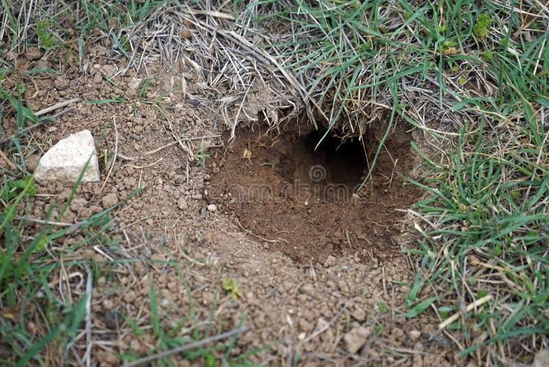 在绿色草甸的貂皮地鼠 库存照片