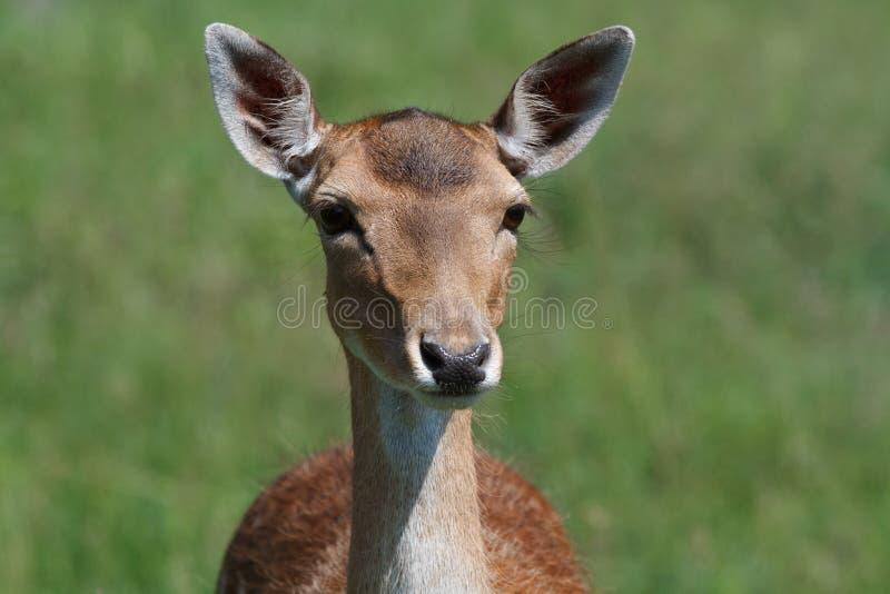 在绿色草甸背景的母sika鹿  免版税库存图片