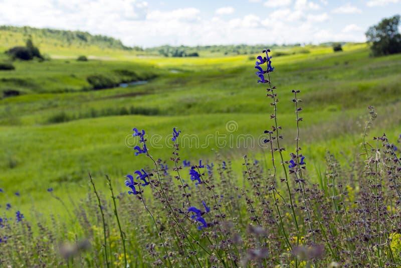在绿色草甸背景,河floodpl的蓝色野花 图库摄影