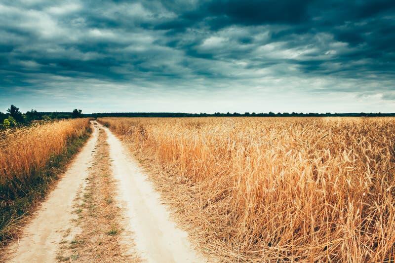 在黄色金黄成熟大麦耳朵夏天麦田附近开放路 库存照片