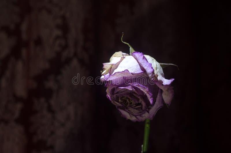 在黑色隔绝的凋枯的和干桃红色和黄色玫瑰花瓣特写镜头  免版税库存照片