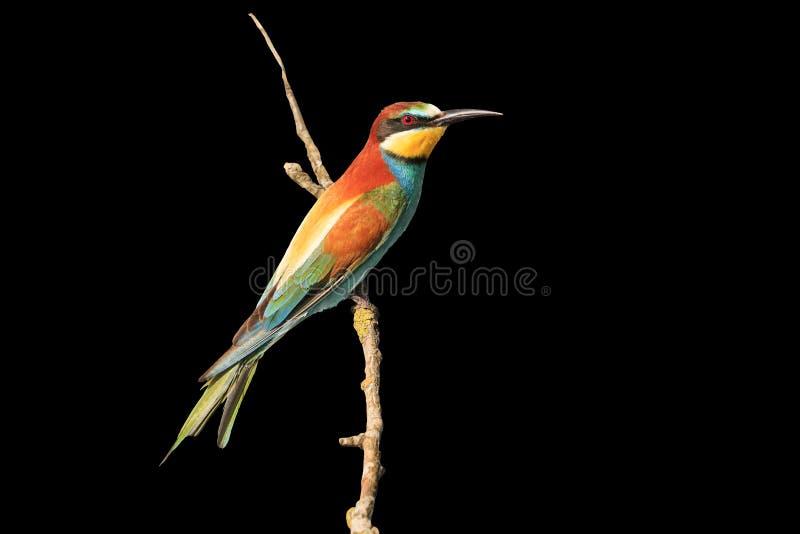 在黑色隔绝的分支的优秀颜色鸟 库存图片