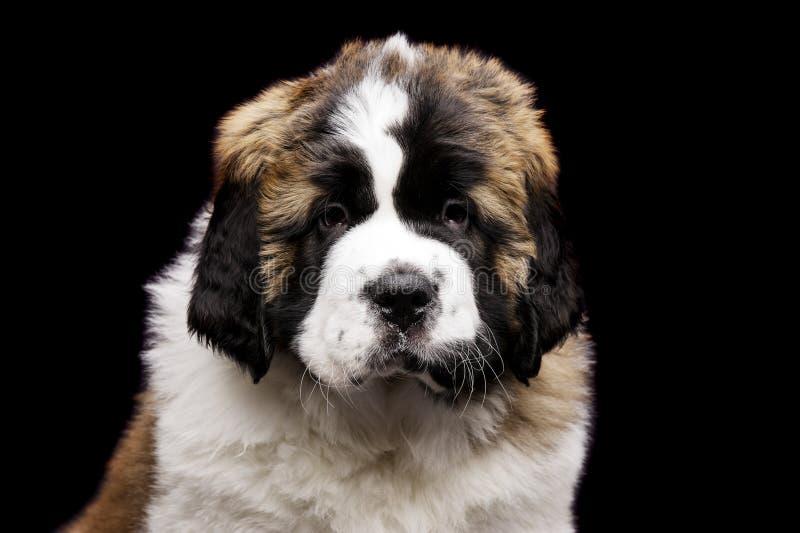 在黑色隔绝的圣伯纳德小狗 免版税库存照片