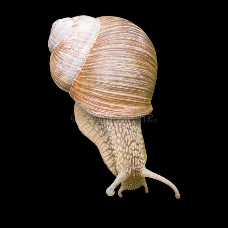 在黑色隔绝的螺旋pomatia食用蜗牛 免版税图库摄影